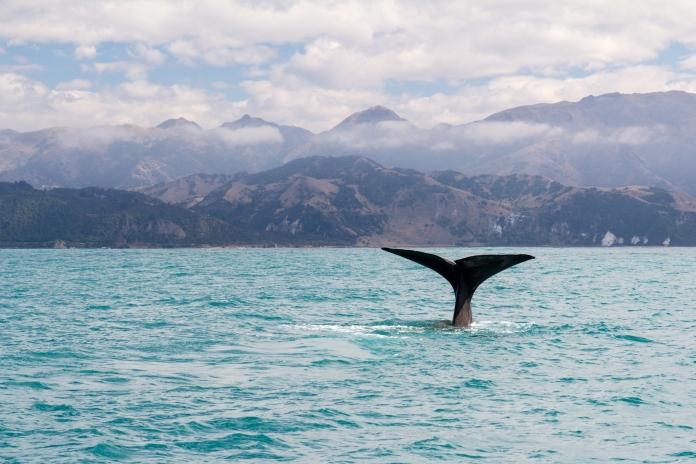 Kaikoura whale